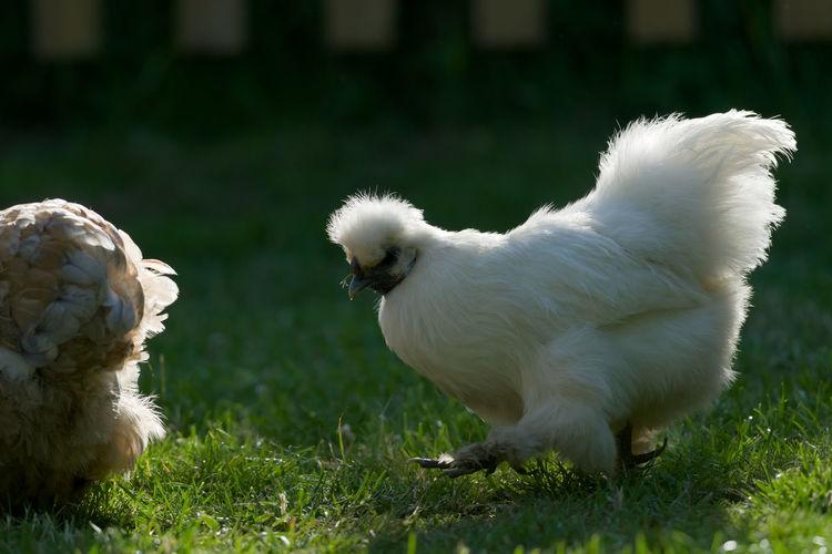 White birds on field