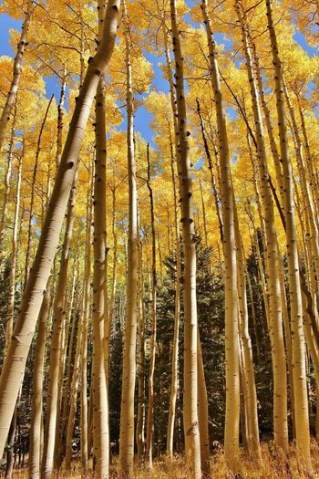 Colors Of Autumn Trees Nature_collection Nature Arizona Aspens Ladyphotographerofthemonth Streamzoo Family Adventures Hiking❤