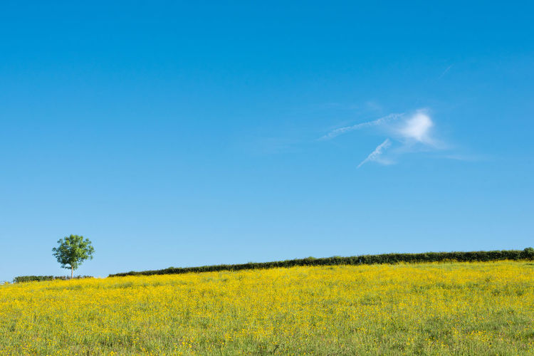 Agriculture Blue Close-up Colza Crop  Day Field Landscape Nature No People Oilseed Rape Outdoors Rural Scene Scenics Sky Tree Yellow
