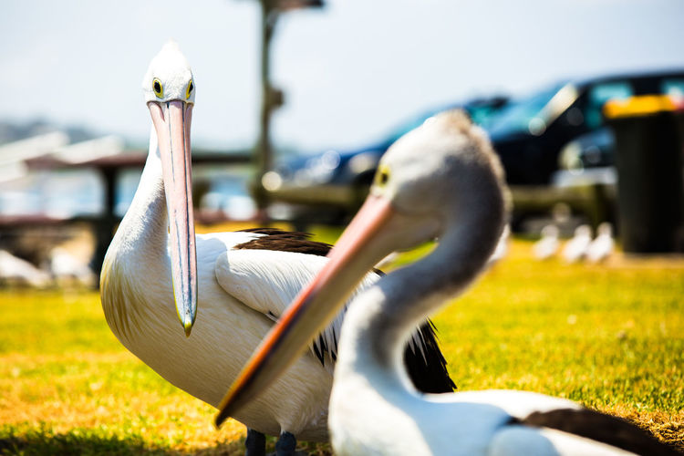 Close-up of pelican on field