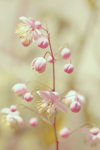 Yunnan Meadow Rue Yunnan Meadow Rue Beauty In Nature Blooming Close-up Day Flower Flower Head Fragility Freshness Growth Nature No People Outdoors Petal Pink Color Plant Tree