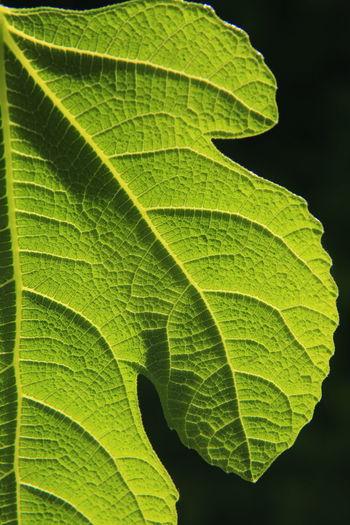 Fig leaf in the spot light