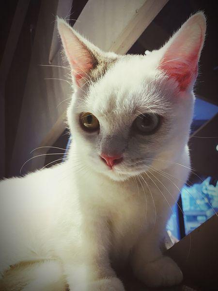 Mocha Caffè Shibuya Pets Indoors  Cat Kitten Lovely Cute Blue Eye Yellow Eye