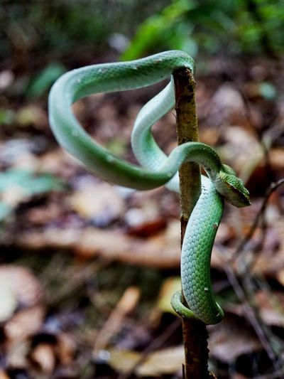 Green wild snake Growth Nature Plant Green Color Outdoors Close-up Beauty In Nature Tendril No People Day Snake Popular Treetopwalk Wildlife