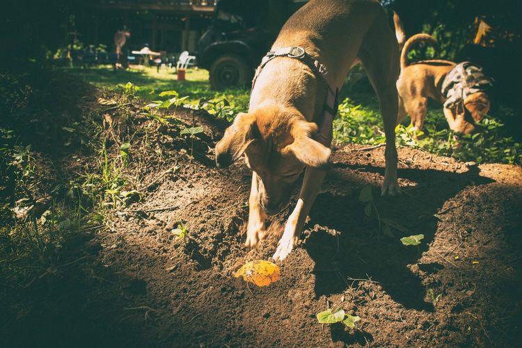 Bury the ball. Puppy Dogs Of EyeEm Backyard Canonphotography AdobeLightroom Nik Collection