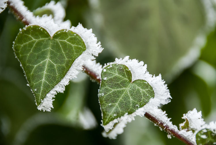 Frozen leaves for valentines. Leaf Plant Part Cold Temperature Winter Frozen Ice Plant Snow Close-up Beauty In Nature Green Color Frost Growth Nature Day Focus On Foreground No People Fragility Vulnerability  Outdoors Leaves Valentine's Day  Valentine Valentines Day Valentinesday