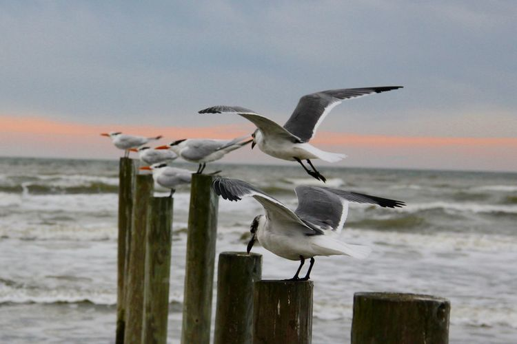 Seagulls perching on wooden posts at sea shore during sunset