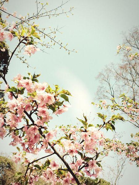 Picking Flowers  Enjoying The Sun EyeEm Nature Lover Cherry Blossoms