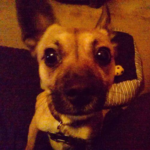 TheMinimals (less Edit Juxt Photography) My Baby Chihuahua