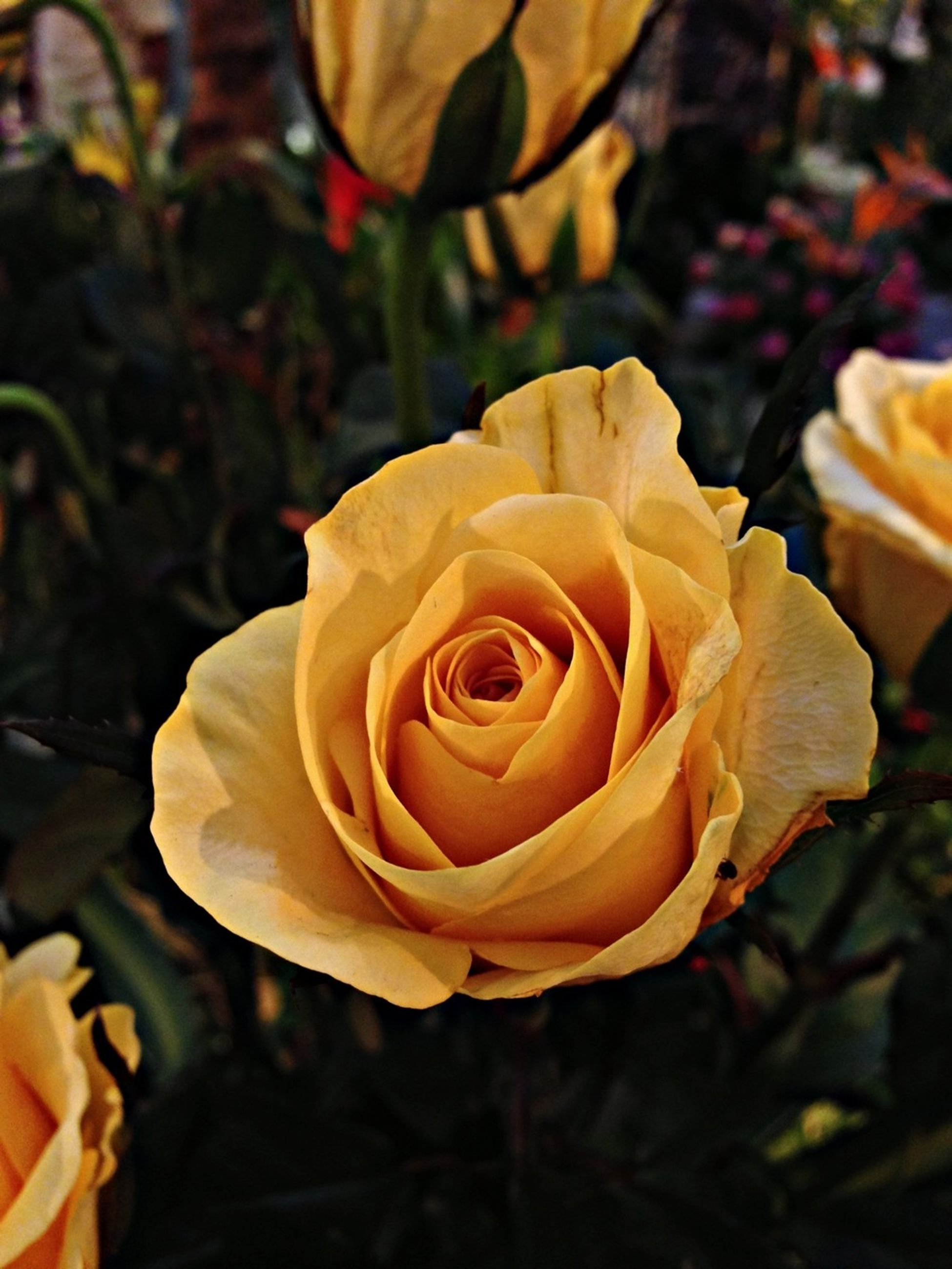 petal, flower, flower head, rose - flower, fragility, freshness, close-up, beauty in nature, focus on foreground, yellow, rose, single flower, growth, blooming, nature, single rose, in bloom, plant, orange color, blossom