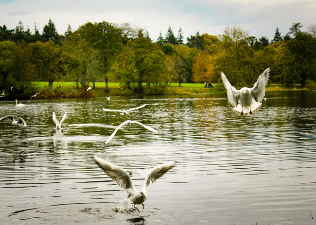 Seagulls At The Lake Hillsborough Forest And Lake Northern Ireland Bird Seagulls Autumnal Colours Natures Magic Best Of EyeEm Nature Scenics EyeEm Gallery Our Best Pics Exceptional Photographs EyeEm Best Shots Beauty In Nature EyeEm Nature Lover Awesome_nature_shots EyeEm Best Shots - Nature Lakeside Birds Lake Lakeside Birds Captured Motion