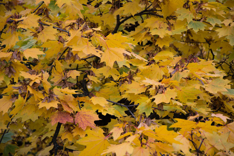 Autumn Autumn Autumn Colors Backgrounds Beauty In Nature Change Close-up Czech Republic Day Fragility Full Frame Grebovka Havlickovy Sady Leaf Leaves Maple Maple Leaf Natural Condition Nature No People Outdoors Park Prague Tree Yellow