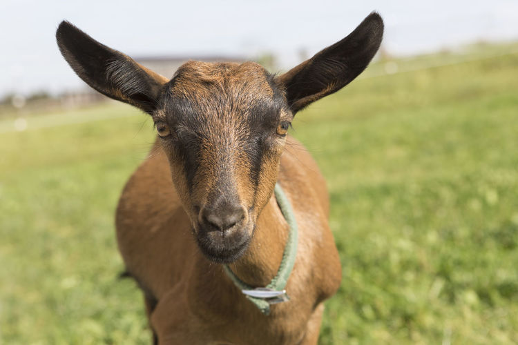 Mammal Animal Animal Themes One Animal Domestic Animals Portrait Looking At Camera Livestock Field Vertebrate Day Pets Land Focus On Foreground Grass Domestic Brown Close-up No People Nature Animal Head  Outdoors Herbivorous Animal Ear