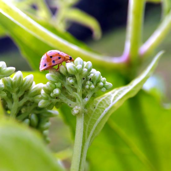Macro Animal ZenfoneSelfie Macro Insect  Beauty In Nature Macro Ladybugs Animal Themes EyeEm Macro Mobile