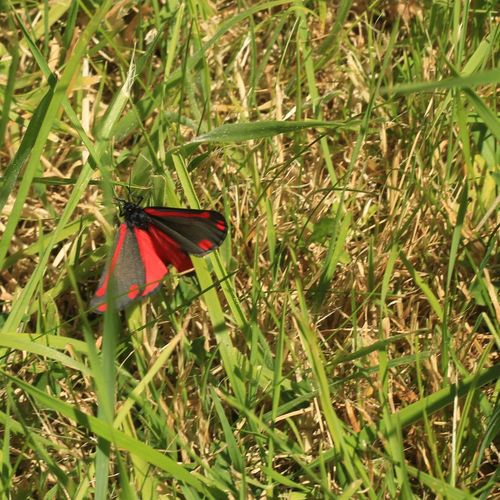 This is either a Cinnabar or the 6 Spotted Burnet Moth. Probably the latter as it is a diurnal species. Animal Themes Animal Wildlife Animal Wing Animals In The Wild Beauty In Nature Close-up Day Diurnal Species Insect Invertebrate Moth No People One Animal Outdoors