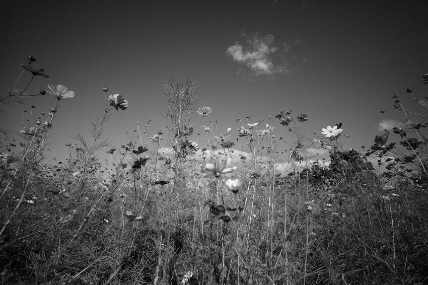 M9-p Leica Blackandwhite Monochrome Leica Voigtlander Lens Japan Flower Flowers Super Wide Heliar 15mm F4.5 Super Wide Angle Flower Fields Sky
