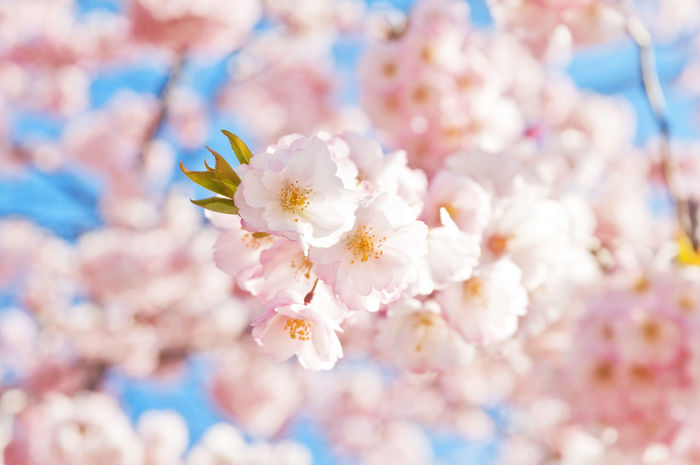 Blooming Blossom Botany Cherry Cherry Blossom Cherryblossom Close-up Flower Flower Head Fragility Freshness Growth Nature Pink Color Springtime White Beautiful Cherry Blossom Spring