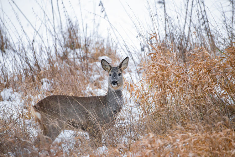 a deer stands in the winter watching between tall grasses Animal Wildlife Animal Mammal Winter Snow Nature No People Field Cold Temperature Looking At Camera Deer Grass Day Portrait Careful Watching Hunting Germany Brandenburg Barnim Wild