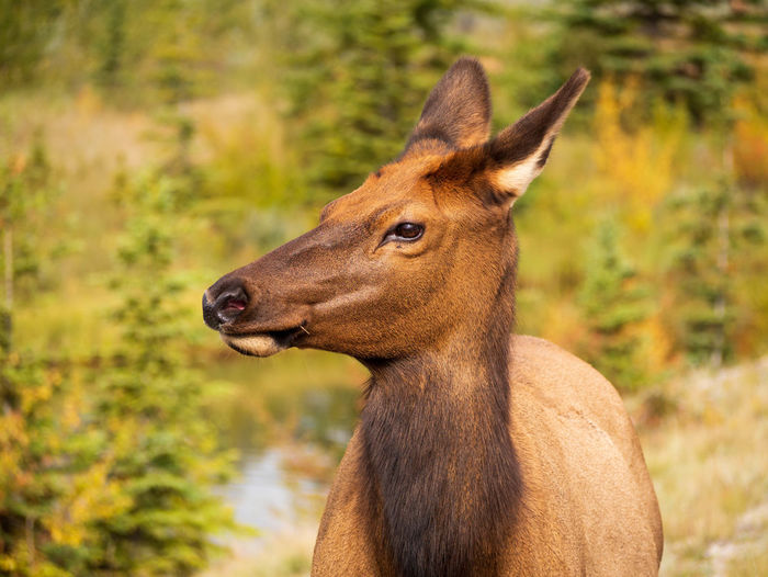 Deer posing as