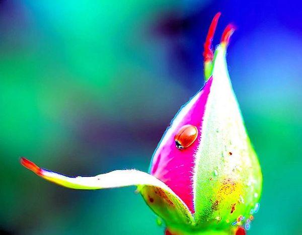 I see you small ladybug =) Sure you are tiny, but perhaps you are perfect size for this rose bud 2) Ig_affair_weekly 3) Ig_closeups 4) Small_world_upclose 5) 5star_images 6) Macro_vision 7) Sn_mar4 8) Myworld_in_green 9) Pic_groups 0) Edit_mania__ 1) Tgif_nature 2) Pocket_family 3) Igglobalclubmacro 4) Macro_captures 5) Fotofanatics_macro_ 6) Editz4fun 7) Macroworld_tr 8) 9vaga_macro 9) Flair_macro 0) Igbest_macros 1) Ptk_macro 2) Naturehippys 3) Macro_secrets 4) Tv_colors 5) Macro_holic 6) Ig_azhubs 7) macro_brilliance 8) eyecatching_pics 9) show_us_macro 0) global_nature_macro