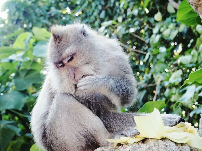 Nature Animals In The Wild Mammal Monkey Outdoors Day Primate Animal Eating From Hand Animal Photography Wildlife Animal Eating Consume Baboon Bali, Indonesia Monkey Forest Ubud