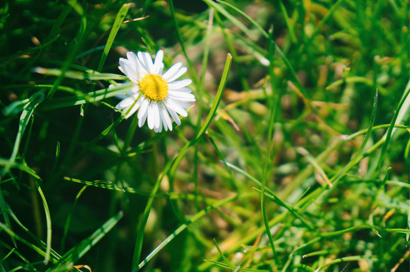 Close-up of white daisy on field