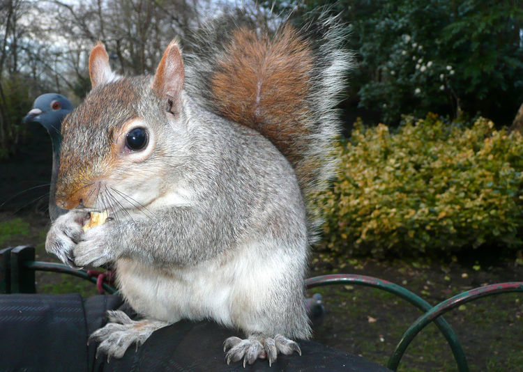 Close-up of squirrel eating food on person hand at st james park