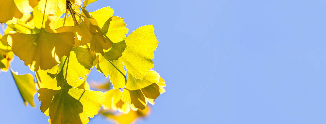Low angle view of yellow flowering plant against clear blue sky
