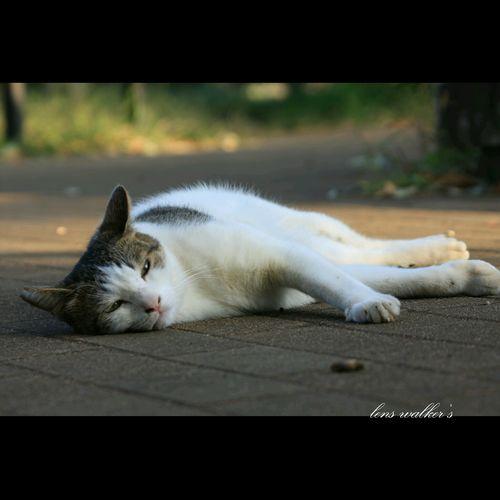 まったり🐈 猫 Cat♡ 自由猫 キジシロ Stray Cat 地域猫 Cat Watching のらねこ部 Playing With The Animals Cats Of EyeEm