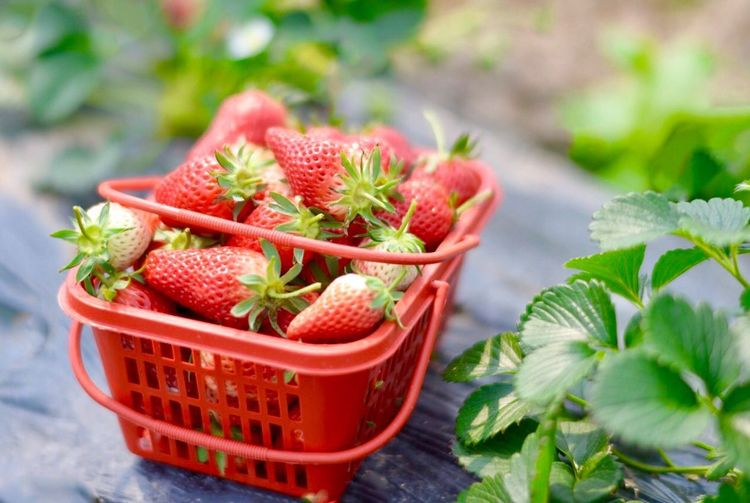 Red Fruit Strawberry Freshness Healthy Eating Summer Focus On Foreground Close-up Food Plant Leaf No People Green Color Berry Fruit Food And Drink Outdoors Nature Seed Day