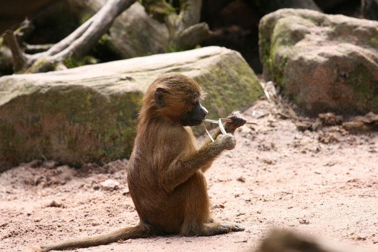 Monkey on rock