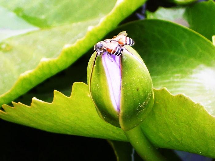 Big green lotus