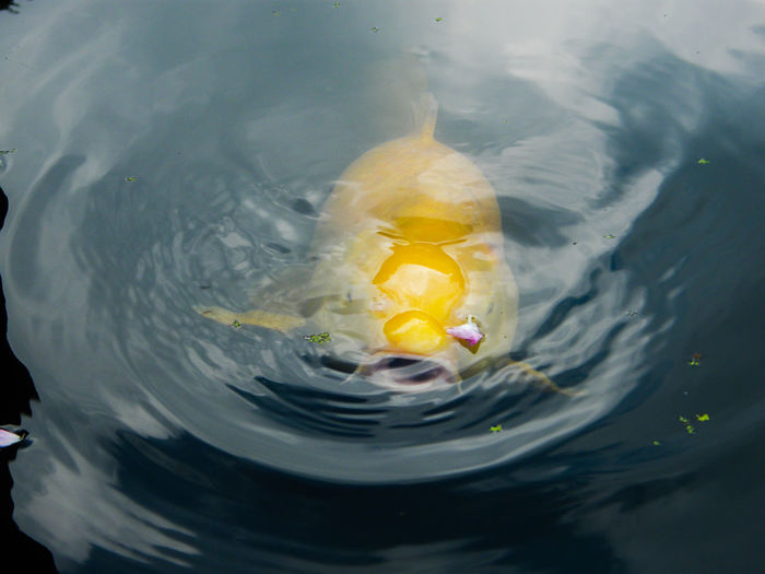 Close-up of yellow koi carp