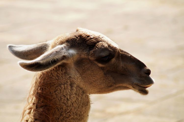 Sunday Morning Alpaca EyeEm Nature Lover EyeEm Selects EyeEmNewHere Relaxing Animal Themes One Animal Animal Mammal Animal Wildlife Close-up Animal Body Part Animal Head  Vertebrate Nature Domestic Day Looking Away Domestic Animals Animals In The Wild