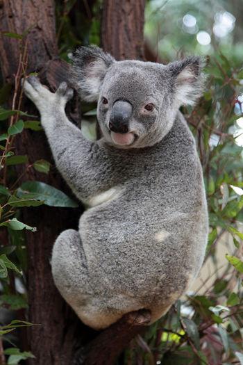 Portrait of koala on tree trunk