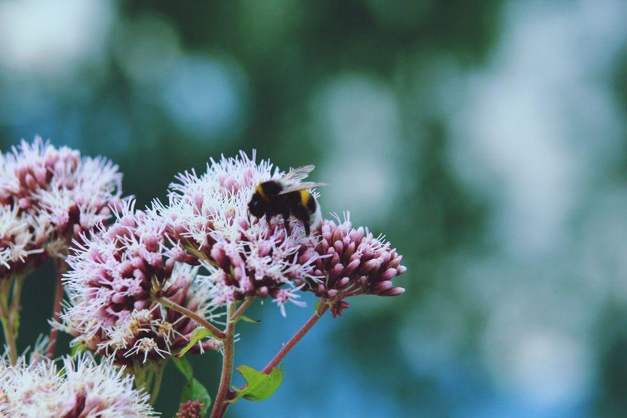 Hummel bestäubt Blüten, Natur, Bestäubung, EyeEm Selects Animal Themes Animal Wildlife Flower Animals In The Wild Flowering Plant Animal Insect One Animal Beauty In Nature Fragility Bee Focus On Foreground Flower Head Vulnerability  Growth