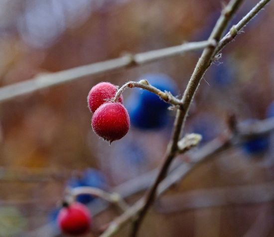 Fruit Berry Fruit Food Plant Red Healthy Eating Close-up Rose Hip Focus On Foreground Twig Branch