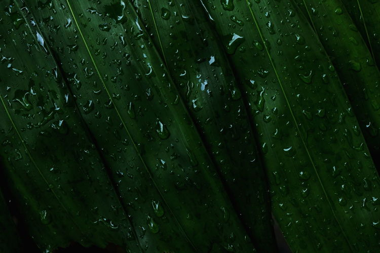 Green leaves background. Drop Wet Green Color Water Full Frame Backgrounds Rain Nature Leaf Close-up Growth No People Plant RainDrop Plant Part Freshness Beauty In Nature Dew Rainy Season Outdoors Purity Leaves Blade Of Grass