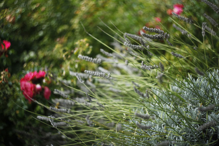 Beauty In Nature Close-up Day Flower Fragility Green Color Growth Lavender Outdoors Plant Stem