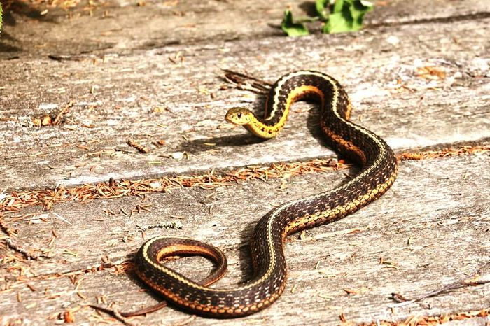 Grass-snake Wildlife Animal Themes Reptile Mont-Tremblant Quebec Canada Laurentides Laurentians Vie Sauvage Animaux Wildlife & Nature Vida Salvaje Animals Nature Animal Photography