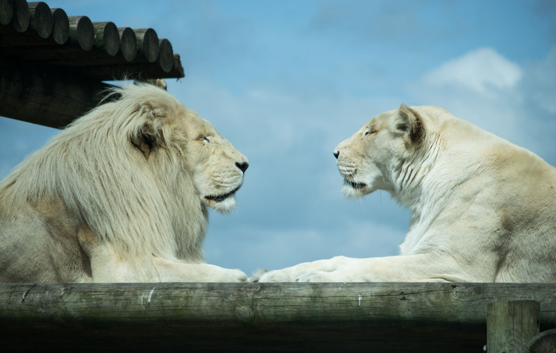 Lion and tiger face to face