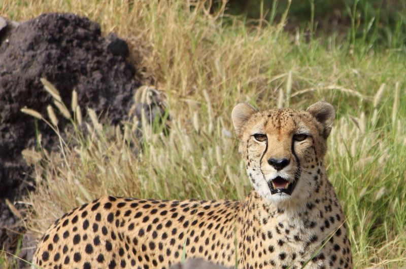Portrait Of Cheetah On Grassy Field