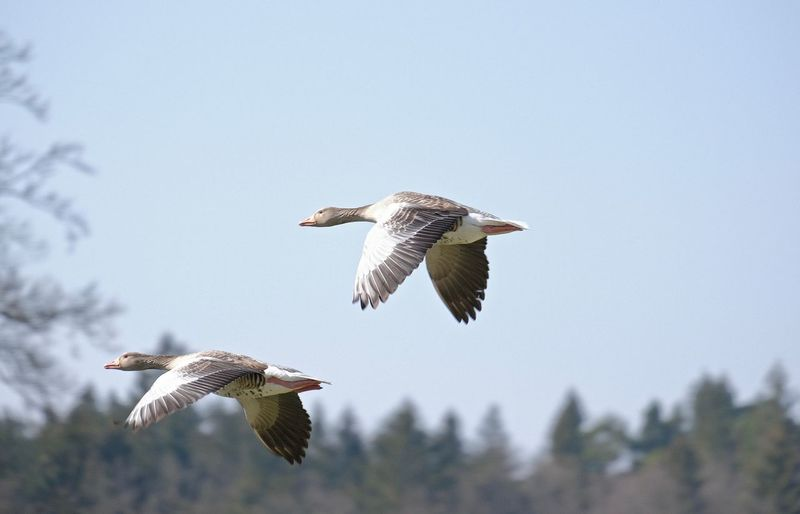Flying Bird Animal Wildlife Animals In The Wild Spread Wings Animal Themes Clear Sky Low Angle View Focus On Foreground Tree Goose