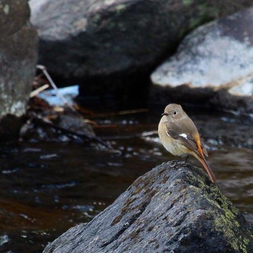 ジョウビタキ Bird Nature River