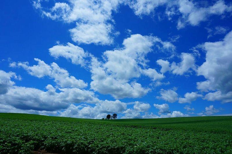 2015/7/5 親子の木 A Family Of Trees Tree And Sky Tree_collection  Blue Sky Sky_collection Nature Nature_collection EyeEm Nature Lover Landscape Landscape_Collection at Biei Hokkaido, Japan