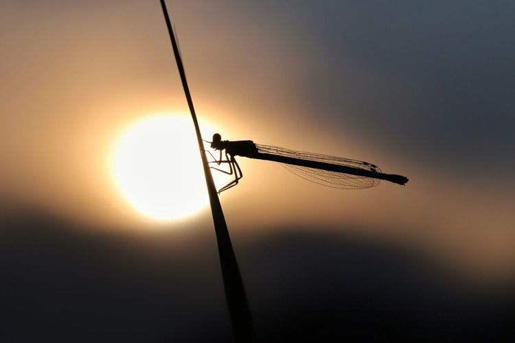 Close-up of silhouette damselfly on plant at sunset