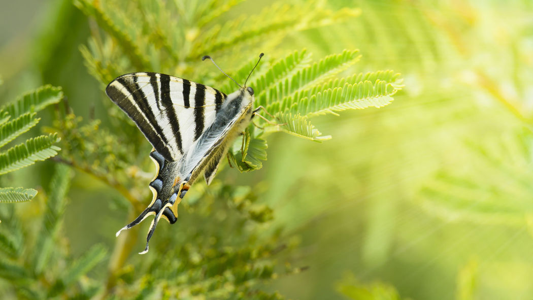 https://open.spotify.com/track/7dvapM9C8EFMhECJOZBehG Animal Themes Animal Wildlife Animals In The Wild Beauty In Nature Close-up Green Color Insect Jacaranda Leaf Mariposa Napatu Nature No People One Animal Plant
