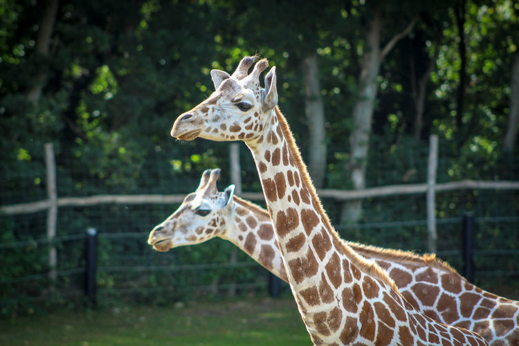 View of giraffe at zoo