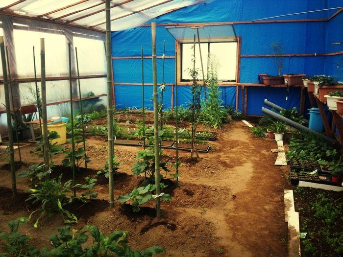 今朝も家庭倫理会に参加しました。終了後、隣にあるバークチップハウスへ。二酸化炭素が充満し、植物がもうここまで育っています。私はここで育苗させて貰っています。