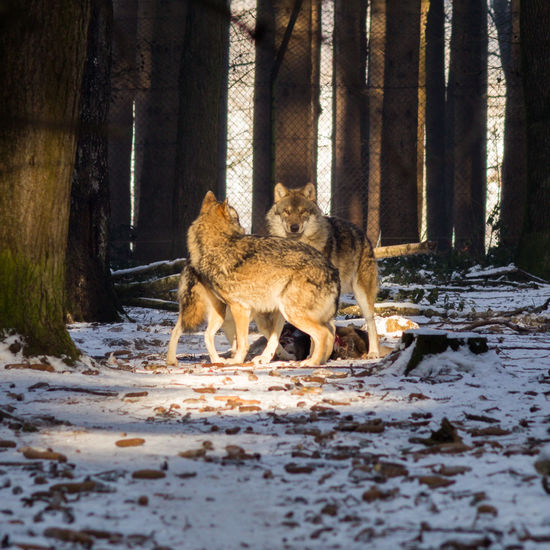 A day testing an old lens and new tripod in the Wild Park in Poing, Germany at -15C Animal Themes Animals In The Wild Cold Temperature Day Family Feeding  Feel The Journey Field Looking At Camera Mammal Nature No People Outdoors Play Snow Tree Tree Trunk Wild Winter Wolf WOlves